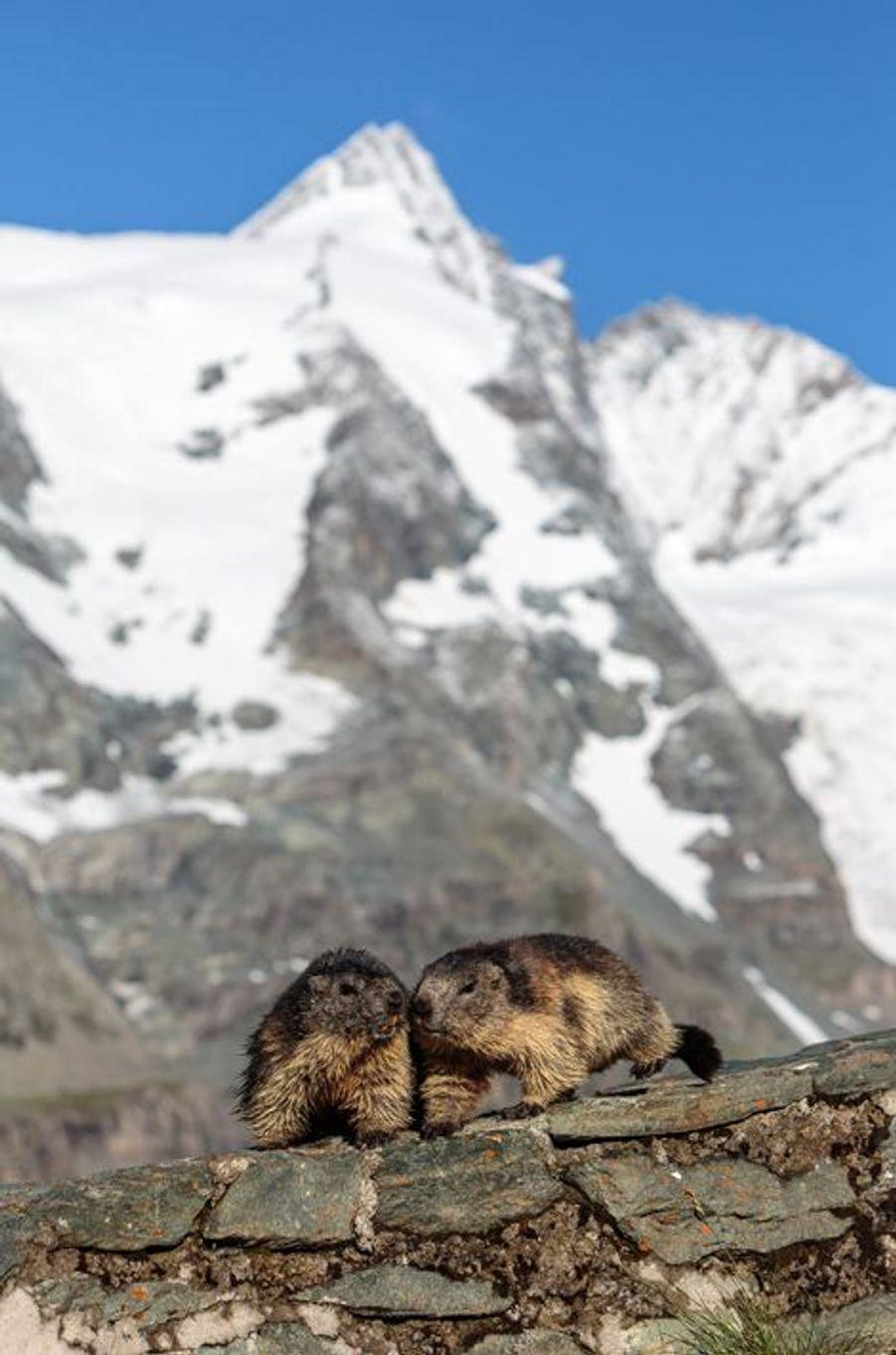 Les marmottes posent devant le Grossglockner