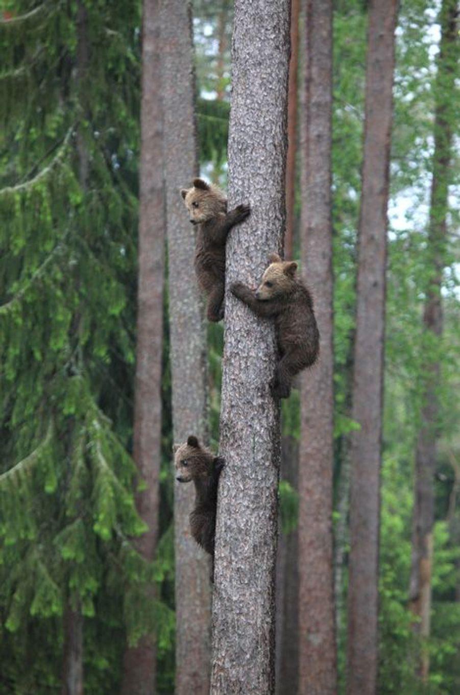 Les oursons apprentis grimpeurs dans la forêt finlandaise
