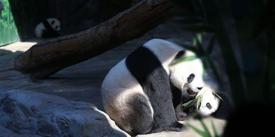 Les pandas triplés sont nés le 29 juillet, et viennent de rejoindre leur mère