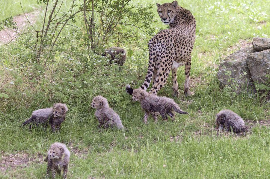 Les petits guépards nés au zoo d'Erfurt, en Allemagne