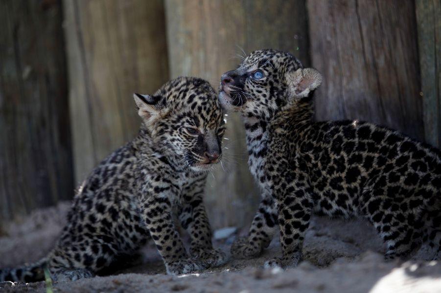 Les petits jaguars sont encore au biberon au zoo de Ciudad Juarez, au Mexique