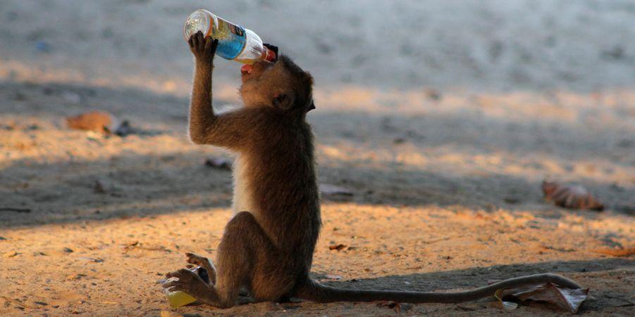 Les singes voleurs de Situbondo