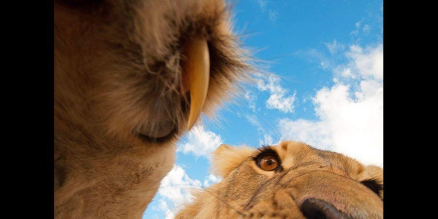 Le lion en gros plan