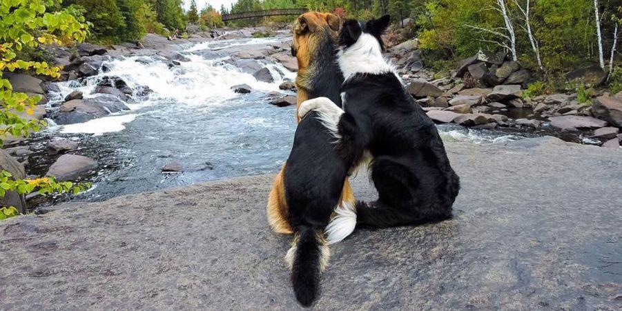 Lottie et Grizzly, le border collie et le berger allemand sont les meilleurs amis