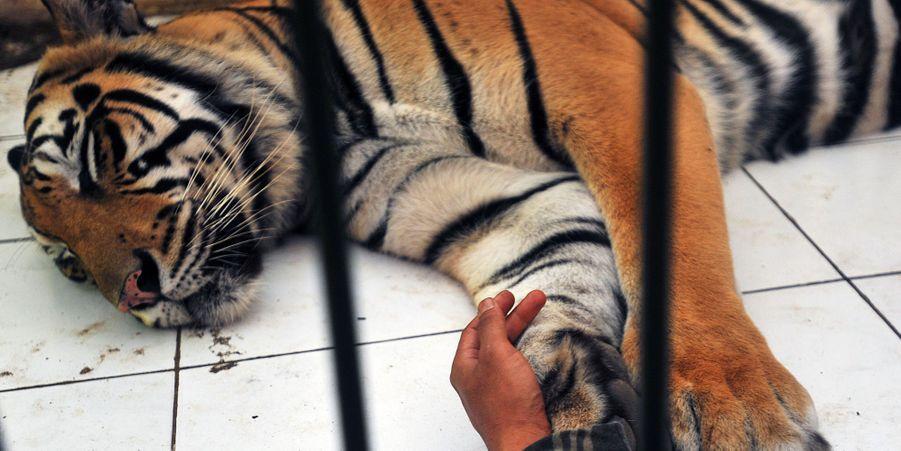 Depuis huit ans, Abdullah s'occupe du tigre Mulan