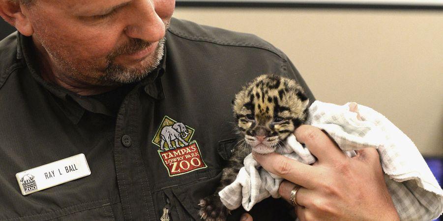 Mowgli le petit léopard tacheté