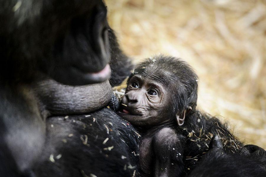 Naissance d'un adorable bébé gorille au zoo d'Amsterdam