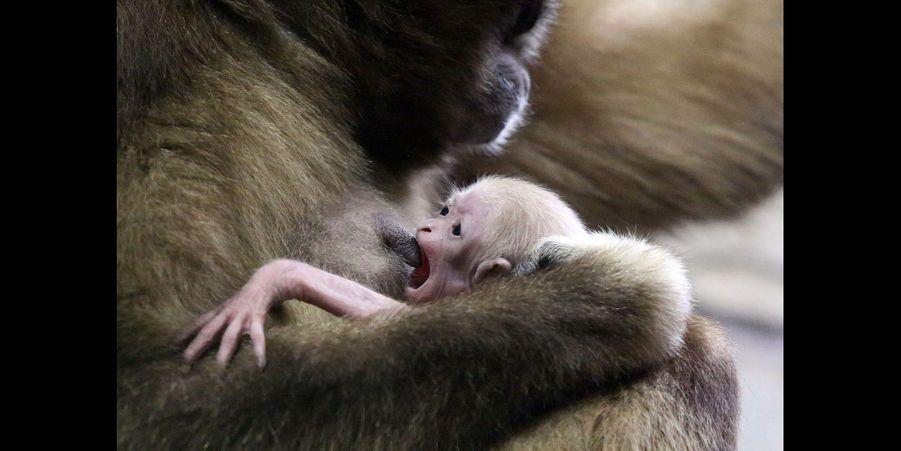 Naissance d'un petit gibbon au zoo de Saint-Pétersbourg