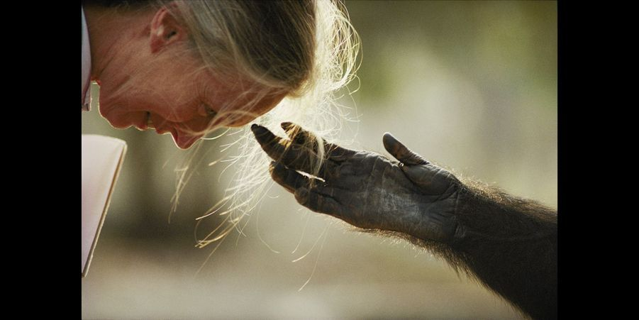 Jou Jou, chimpanzé en captivité, tend la main au Dr. Jane Goodall