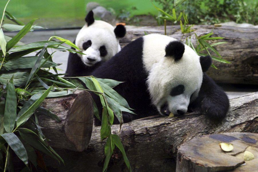 Tuan Tuan et Yuan Yuan dans leur enclos du zoo de Taipei, le 24 janvier 2009.
