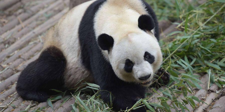 Kaikai le panda géant