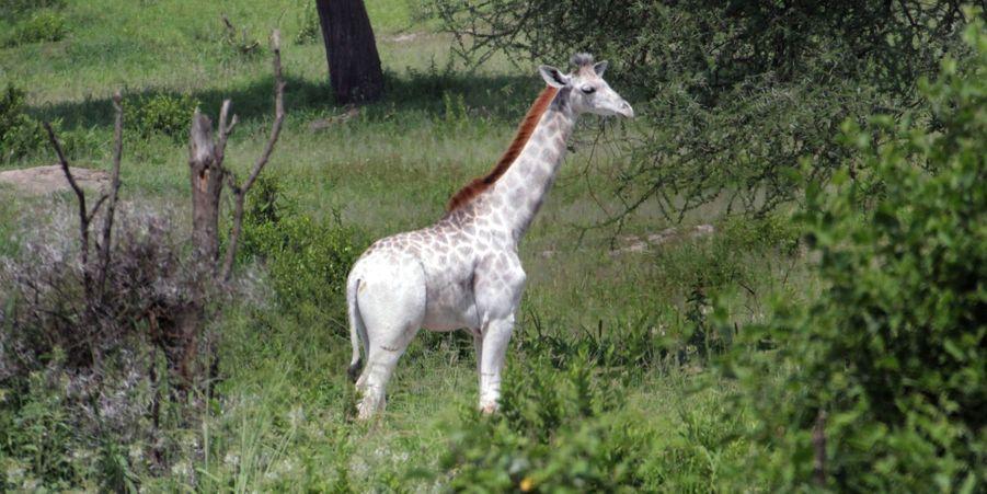 Omo la girafe blanche de Tanzanie