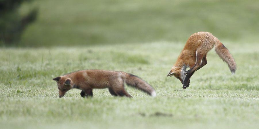 Partie de jeu pour les renardeaux, au Canada