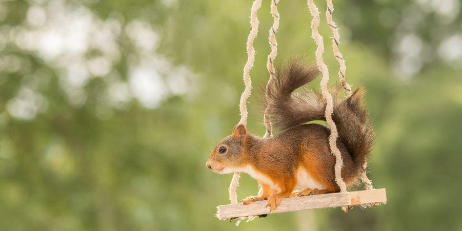 Passage sur la balançoire pour l'écureuil