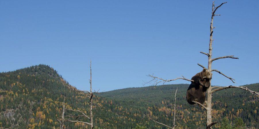 Perché sur un arbre... l'ours