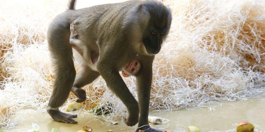 Pinto le jeune drill découvre son environnement du zoo de Munich
