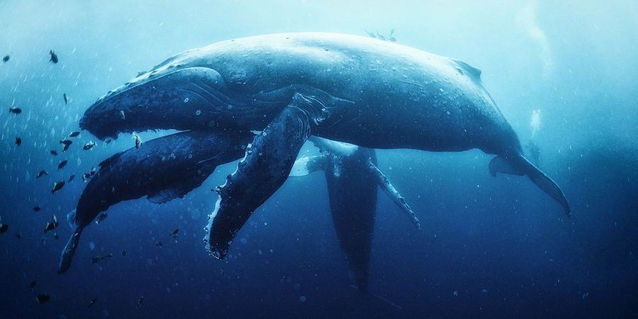 Plongée avec les baleines à bosse au Mexique