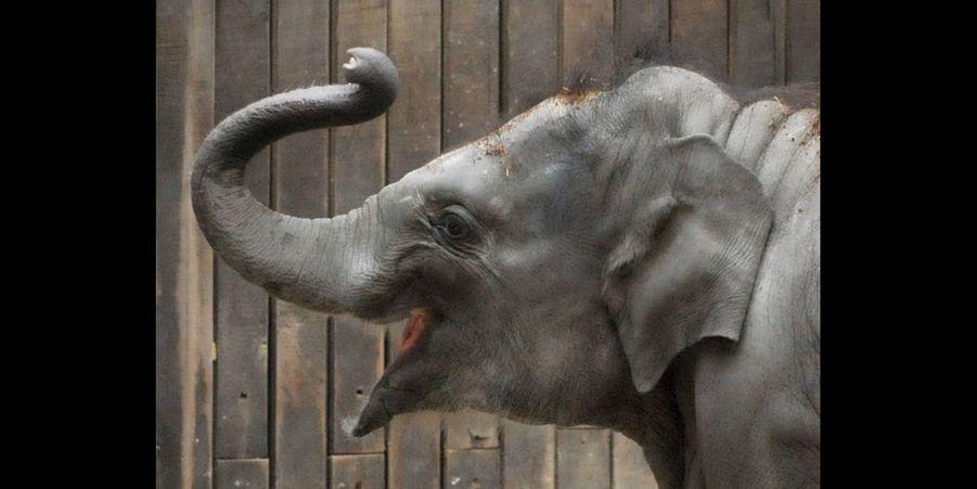 Le jeune éléphant a fêté son premier anniversaire
