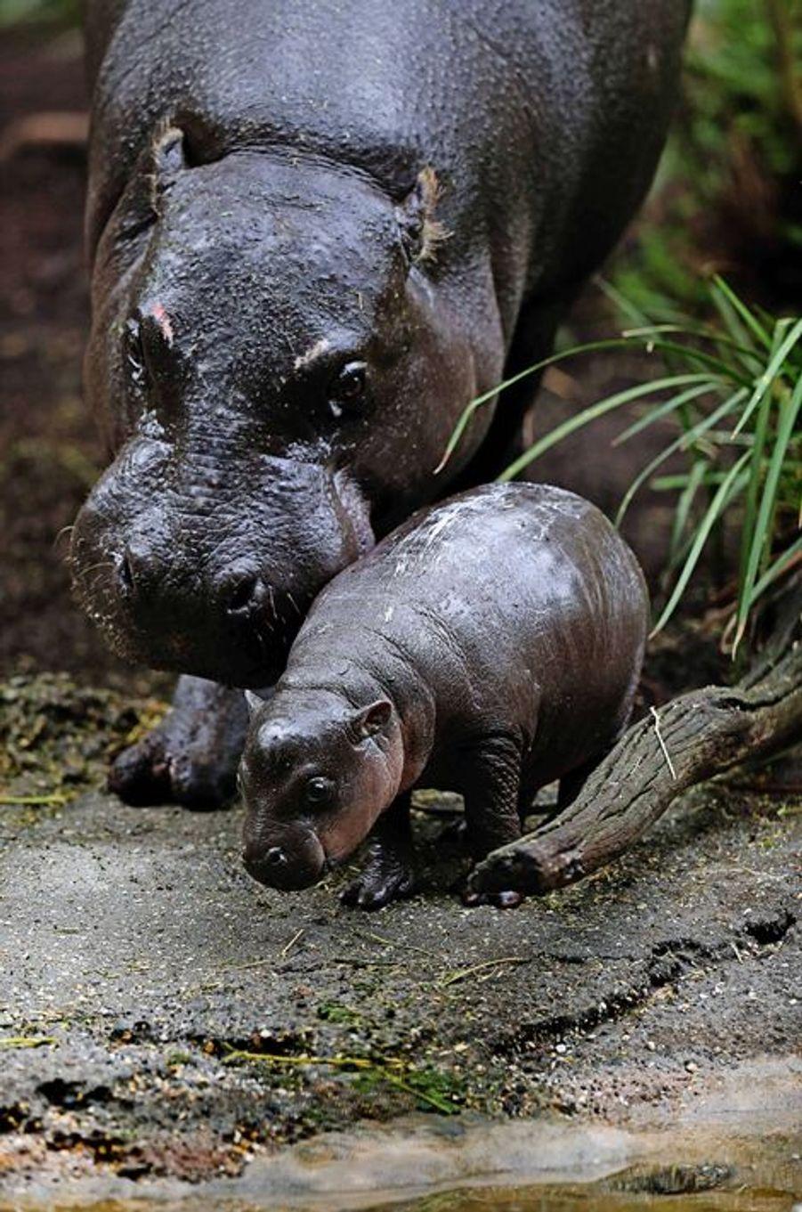 Premier bain pour Obi, le jeune hippopotame nain
