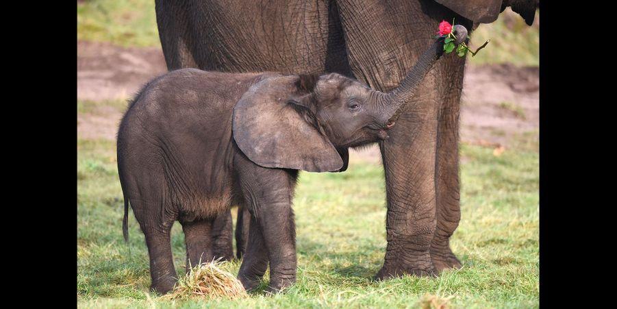 Première Saint-Valentin pour l'éléphanteau Sutton
