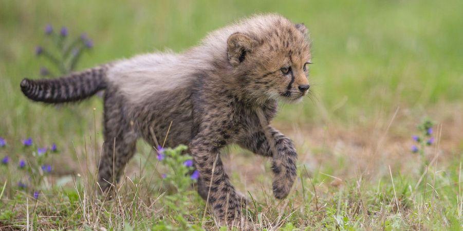 Première sortie pour les bébés guépards du Safari de Peaugres