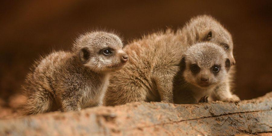 Première sortie pour les bébés suricates nés le 11 juin au zoo de Chester