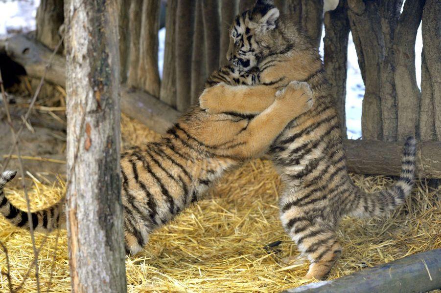 Première sortie pour les petits tigres de Sibérie nés au zoo de Zlin, en République Tchèque
