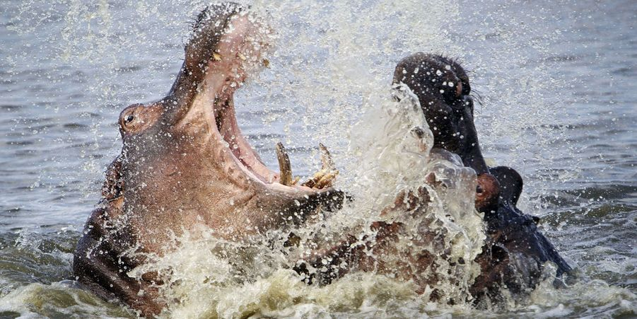 Prise de tête chez les hippopotames, en Afrique du Sud