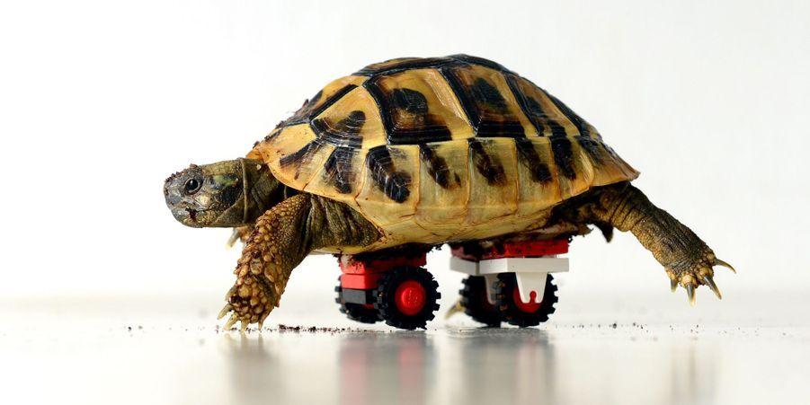 Blade la tortue sur roues (Allemagne, décembre 2014)