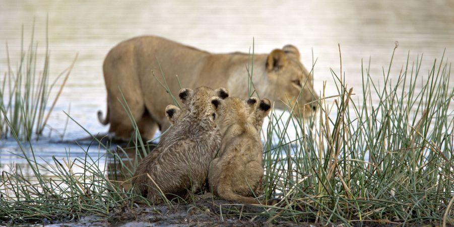 Les lionceaux apeurés ont dû attendre l'arrivée des lionnes pour traverser