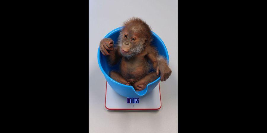 Abandonné par sa mère, ce petit orang outan est élevé à la main par les soigneurs du zoo de Berlin