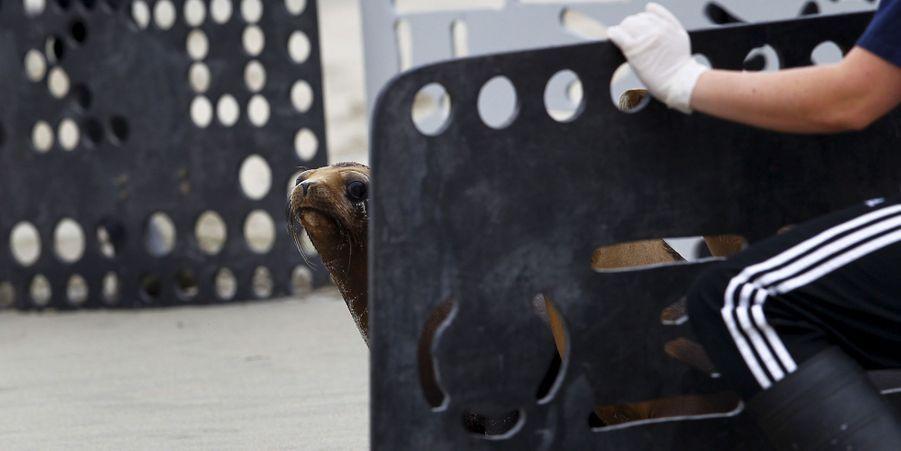 Les lions de mer empoisonnés ont été relâchés en Californie