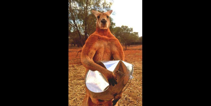 Roger, le kangourou le plus musclé d'Australie