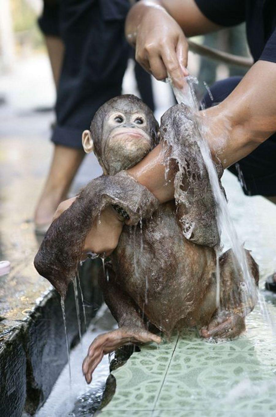 Sauvé, Splish le bébé orang-outan passe à la douche