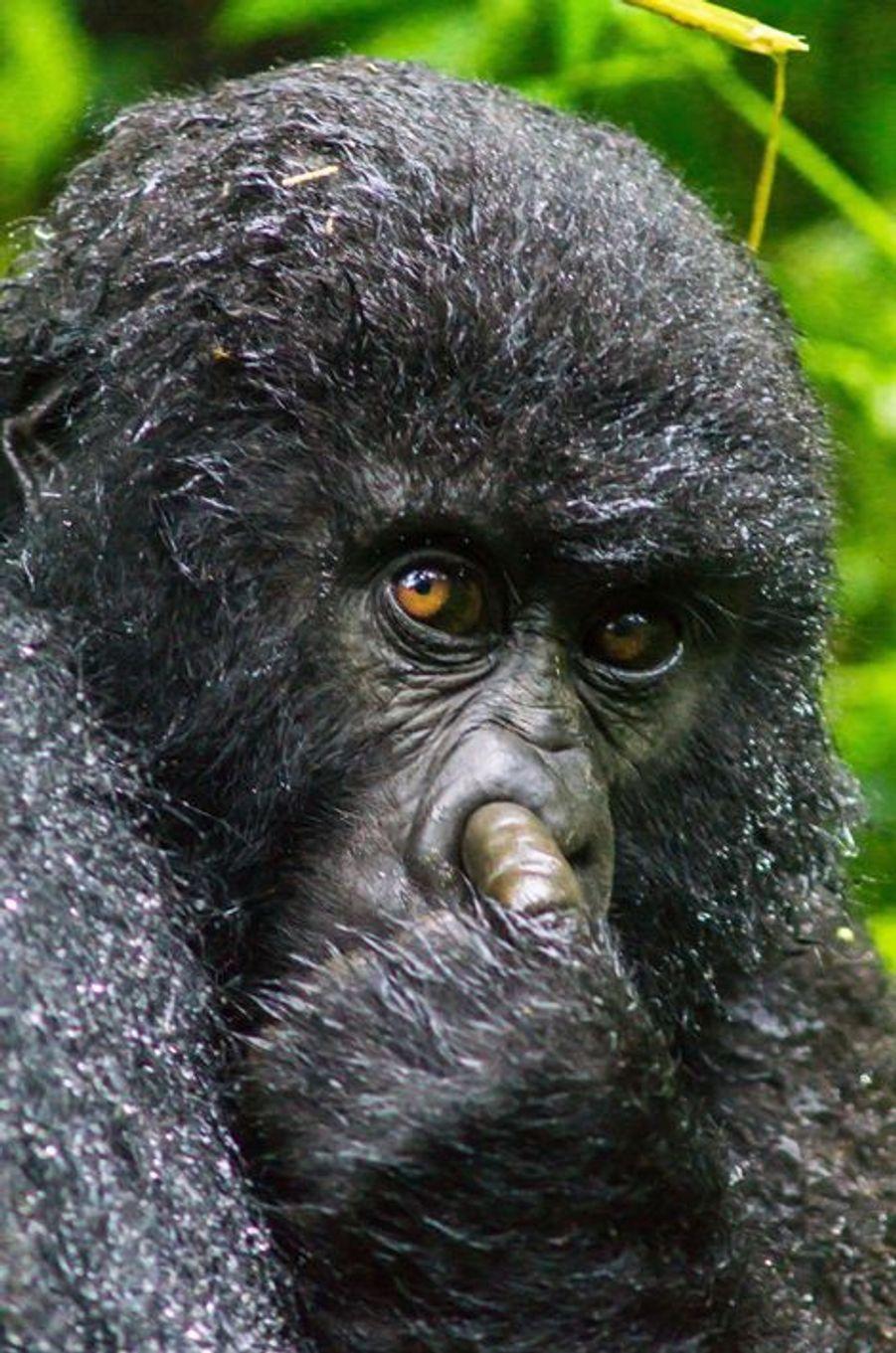 Séance de curage de nez pour le gorille