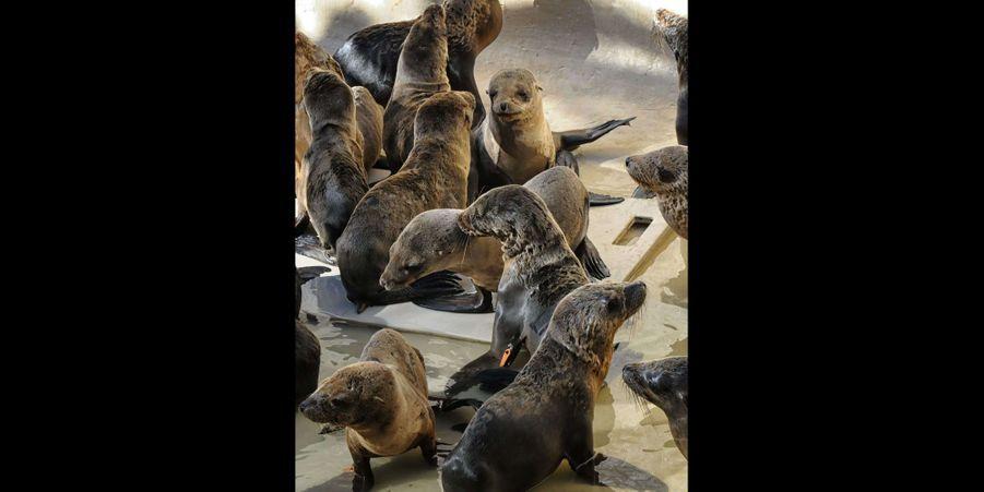 Les soigneurs du SeaWorld de San Diego viennent en aide aux otaries échouées sur les plages californiennes