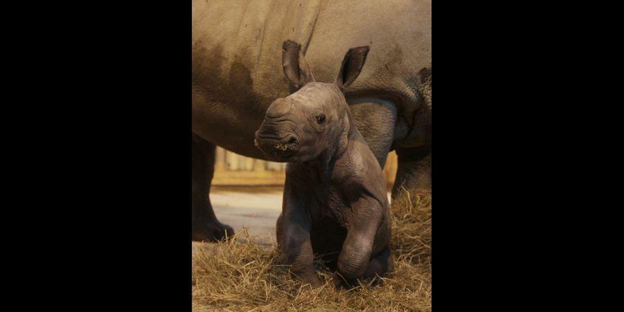 Shango le rhinocéros est né le 1er décembre au zoo d'Amnéville