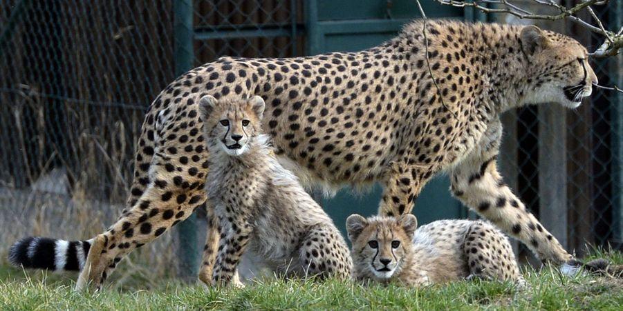Les petits guépards du zoo de Prague ont grandi