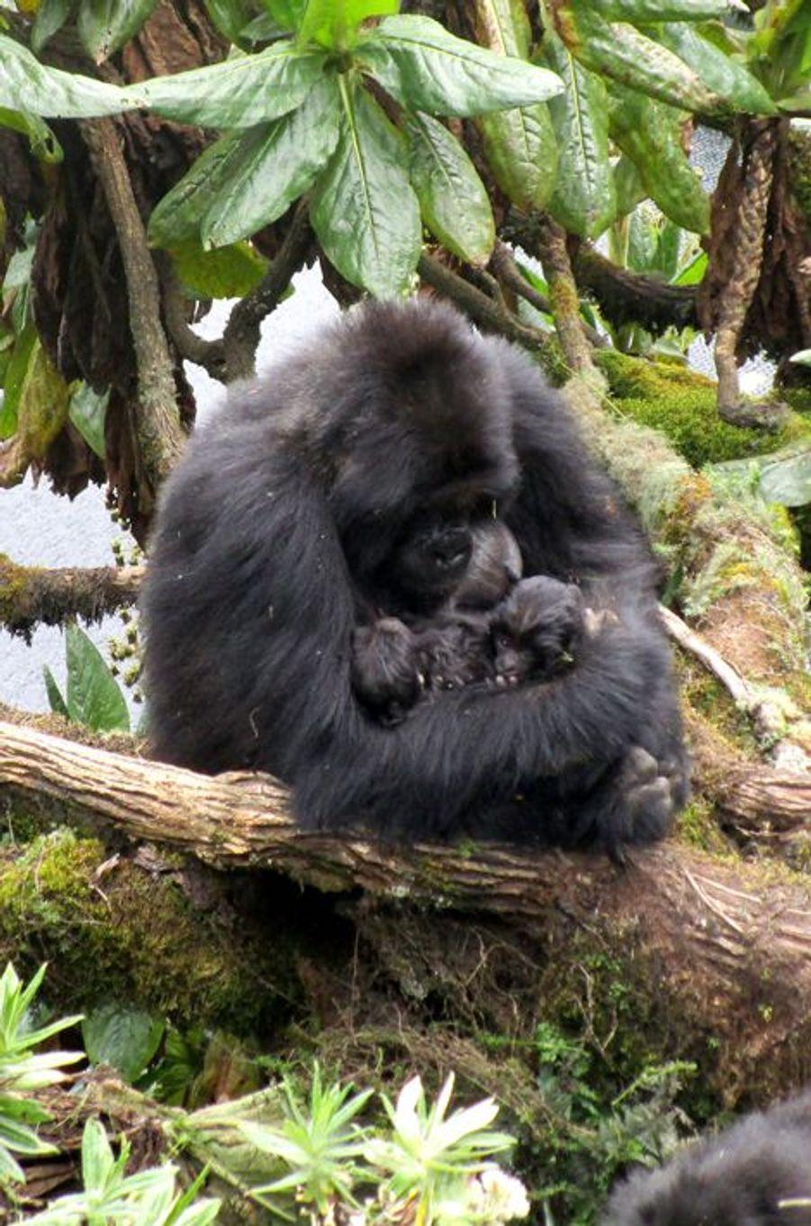 Tendre câlin entre une mère gorille et ses petits jumeaux