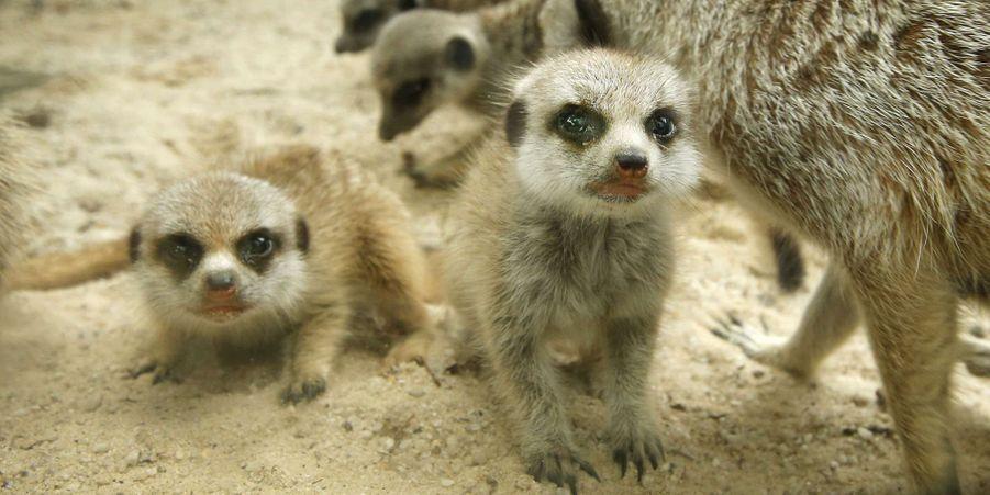 Tendre câlin pour les petits suricates