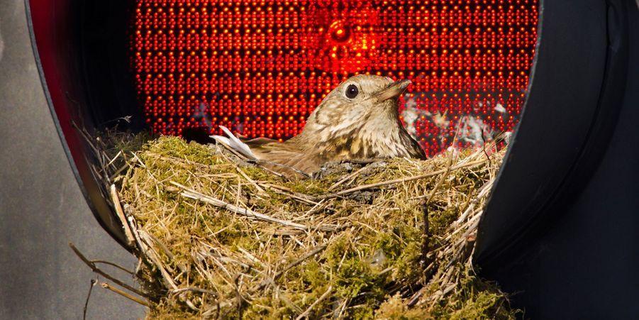Cette grive draine a installé son nid dans un feu de circulation