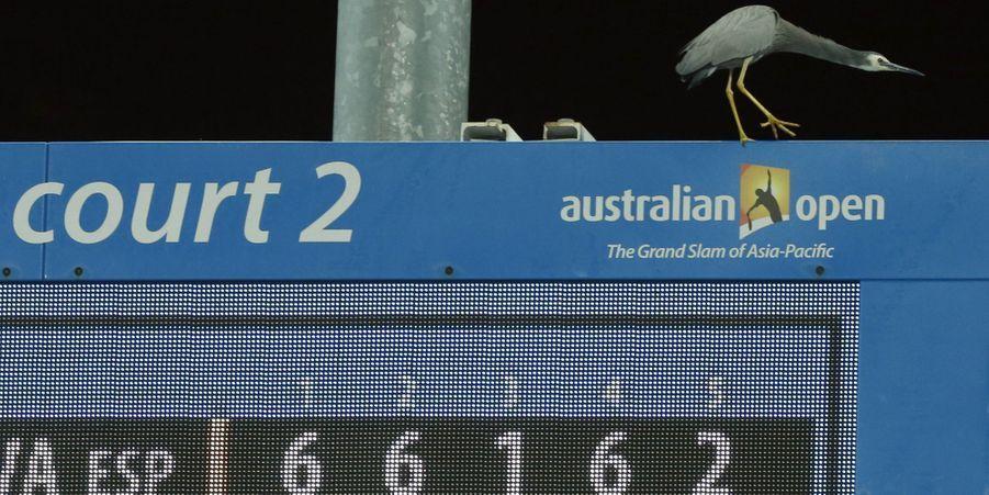 Une aigrette à face blanche s'installe sur le court à l'open d'Australie