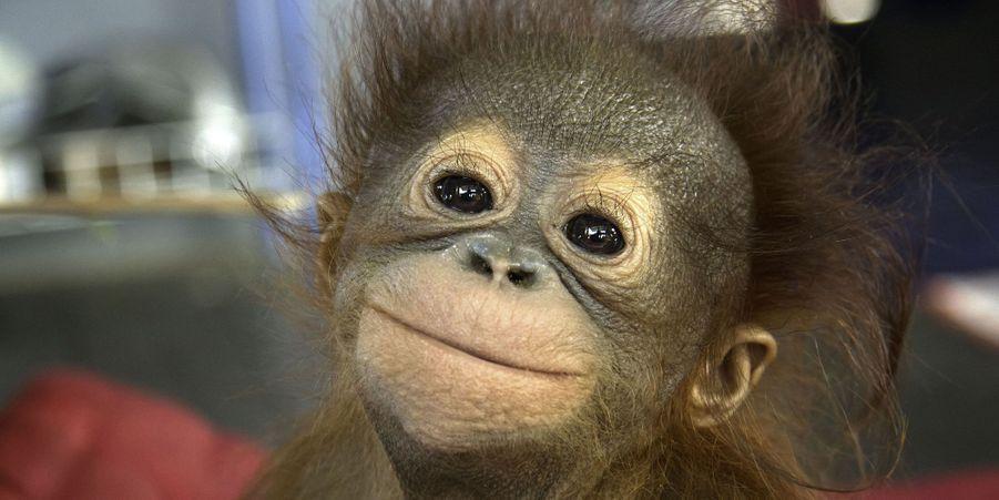 Au sein duKalimantan occidental, sur l'île indonésienne de Bornéo, se trouve une école pour orang-outans.Retrouvez le diaporama ici