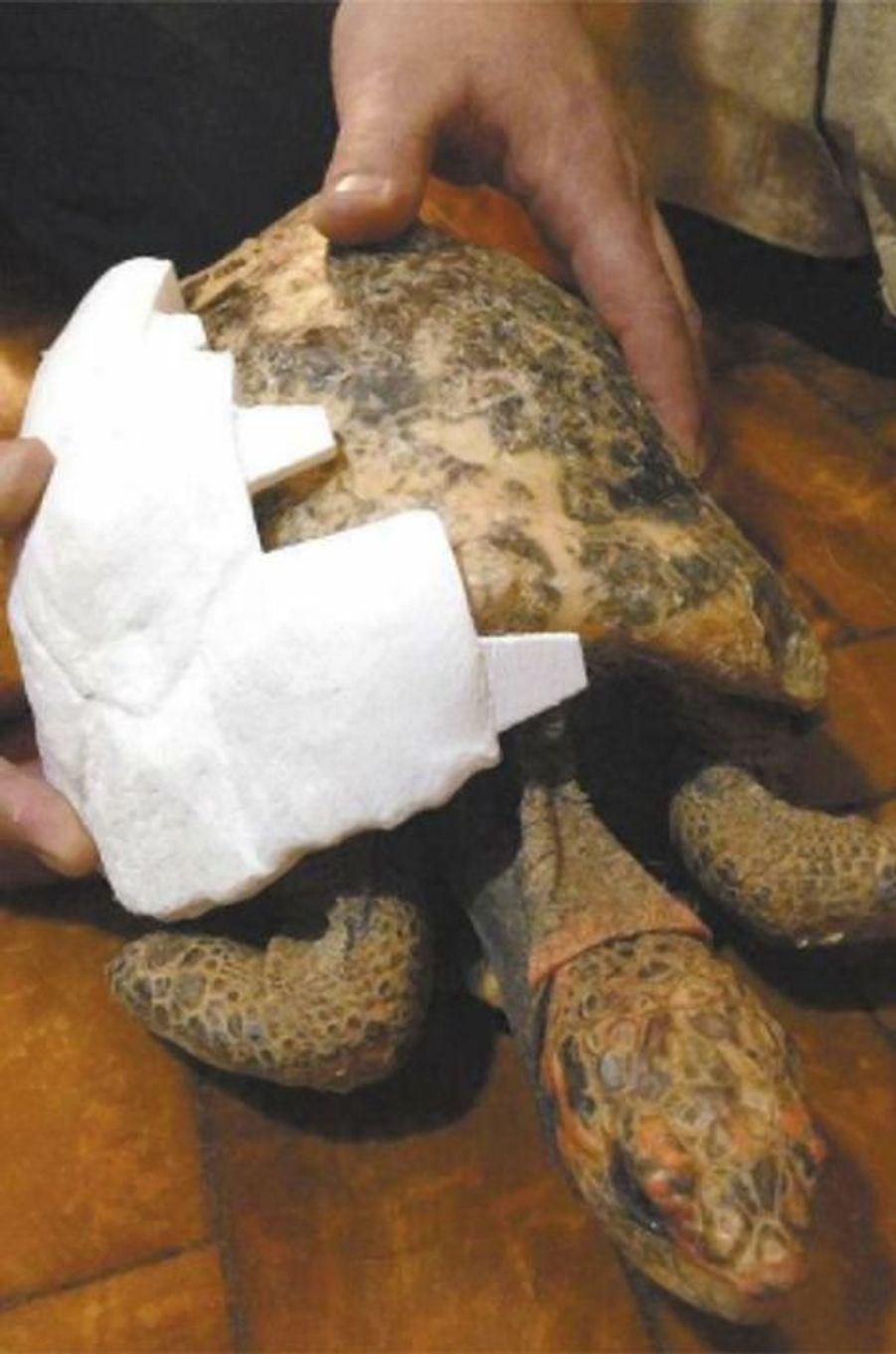 Freddy la tortue et sa nouvelle carapace 3D.
