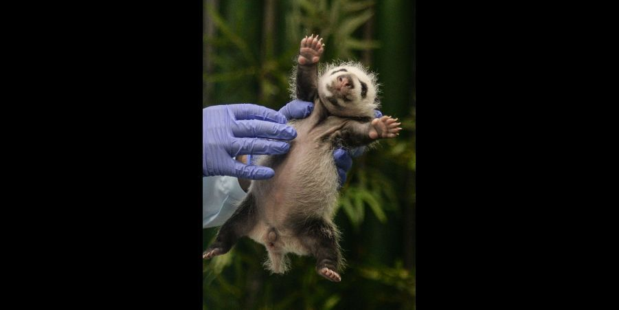 Ce petit panda est l'un des triplés nés le 29 juillet au Chimelong Safari Park, en Chine