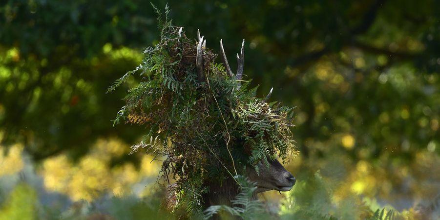 Un cerf dont les bois ont été recouverts par des branchages se balade dans un parc londonien