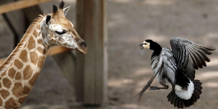 Attribuez une à cinq étoiles aux diaporamas Animal Story de la semaine:Au Costa Rica, un sanctuaire pour les animaux maltraités:Chiens, chats, oiseaux, tortues ou encore singes sont au cœur des préoccupations des soigneurs, qui ont constaté ces dernières années une augmentation des violences envers les animaux domestiques et sauvages.Les pandas jumeaux coulent des jours heureux:Mei Lun et Mei Huan, les pandas géants jumeaux, auront bientôt deux ans.Lisa a tout plaqué pour... ses alpagas:En 2009, Lisa Vella-Gatt a changé de vie: elle a quitté la Grande-Bretagne pour le Portugal, où elle est devenue…éleveuse d'alpagas.Le girafon traumatisé par un palmipède:Le petit girafon pensait profiter d'un lundi au soleil avec sa mère. C'était sans compter sur l'intervention d'une bernache nonnette qui l'a poursuivi.Le lion peureux se réfugie dans un arbre:Un troupeau de buffles a réussi à terroriser un lion qui, après avoir pris la fuite en courant, a grimpé à un arbre.Dans une boîte en carton… des petits iguanes:Lundi, des officiers de la police de San Jose, au Costa Rica, ont fait une découverte étonnante: des dizaines de bébés iguanes, qui se trouvaient dans une boîte en carton.Gourmandises glacées pour animaux au chaud:Le zoo deRamat Gan, près de Tel Aviv, a distribué à ses animaux des rations de fruits glacés et les a aspergés d'eau, afin de les refroidir par des températures supérieures à la normale de saison.La hyène vole le repas du python:Un impala, pris au piège d'un python, a finalement servi de repas à une hyène opportuniste.Partie de jeu pour le tigre blanc et sa mère:Les visiteurs du zoo de Novossibirsk, en Russie, ont pu assister à une scène attendrissante: les efforts d'un jeune tigre blanc pour jouer avec sa mère.Le serpent des arbres attaque le caméléon:Le caméléon n'a pas fait le poids face au serpent affamé.Jamais sans ma mère!:A l'occasion de la fête des mères, retrouvez ces images attachantes de bébés animaux collés à leur mère…