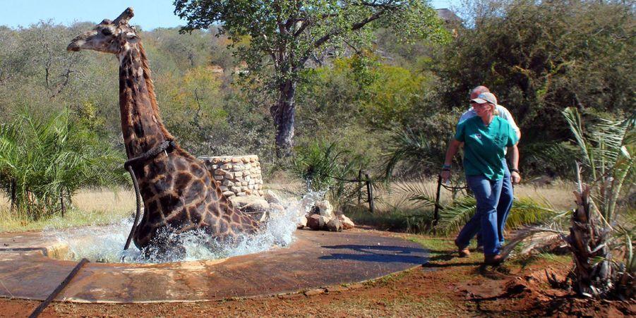 Au secours de la girafe tombée dans un puits