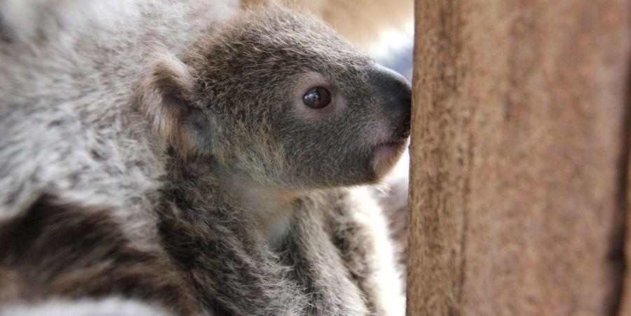 """Attribuez une à cinq étoiles aux diaporamas Animal Story de la semaine:Jeux de pattes pour les oursons:Installés sur le bord d'un lac de Kamchatka, en Russie, ces deux oursons ont vécu un adorable moment de jeu.Le premier koala de la saison est né:Le zoo de Taronga, situé à Sydney, en Australie, a célébré la semaine dernière la naissance du premier koala de la saison.Première course pour Sanyu le girafon:Le zoo de Chester, en Grande-Bretagne, a accueilli la semaine dernière la naissance de Sanyu, une petite girafe.Faune et flore, entre air et mer:Le photographe britannique établi en AustralieMatty Smith a eu l'idée de photographier la faune et la flore locale entre air et mer.Le selfie du singe:Habitués à la présence des humains, les singes n'hésitent plus à s'approcher, en témoignent les photos rapportées par ce couple anglais.Un nid dans le feu de l'action:Afin d'établir son nid, cet oiseau a choisi un emplacement particulier: un feu de circulation de Beeston, en Grande-Bretagne.Les petits guépards ne quittent pas leur mère:Le zoo d'Erfurt, en Allemagne, a accueilli le 5 mai dernier la naissance de six petits guépards.Les éléphants travailleurs de New Delhi: Au lieu de vivre dans la nature ou dans des sanctuaires où ils seraientprotégés des braconniers, ces animaux sont utilisés comme gagne-pain par certains.La fable de la grenouille et du crocodile:La grenouille confortablement installée se rend-elle compte du danger?Entrée dans le petit bain pour les bébés raies:Les cinq poissons, âgés de deux à trois mois, sont entrés en """"maternelle"""", avec de jeunesrequins-chats arlequin."""