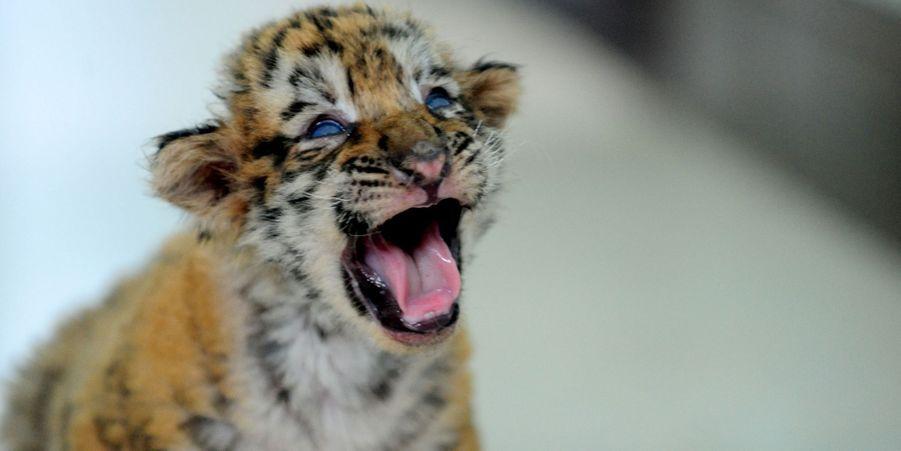 A un mois, les petits tigres sont déjà féroces